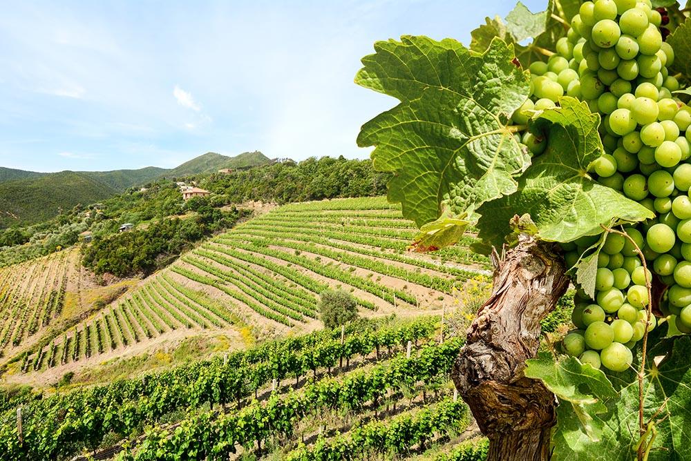 Know your grapes: Sauvignon Blanc