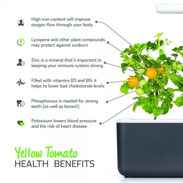 Yellow Mini Tomato Plant Pods